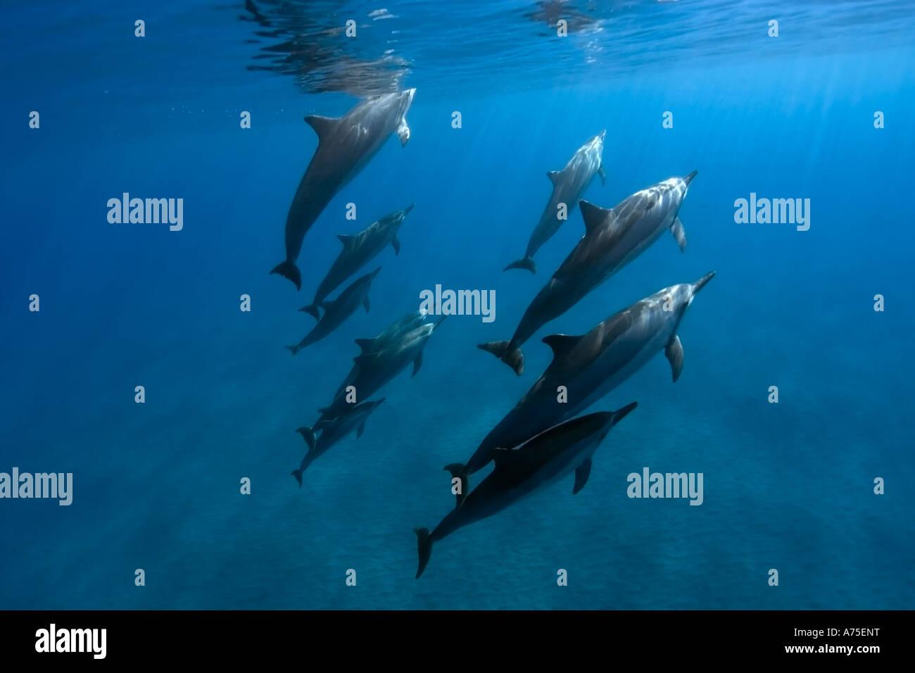 Spinner dolphins Stenella longirostris Big Island Hawaii USA - Stock Image