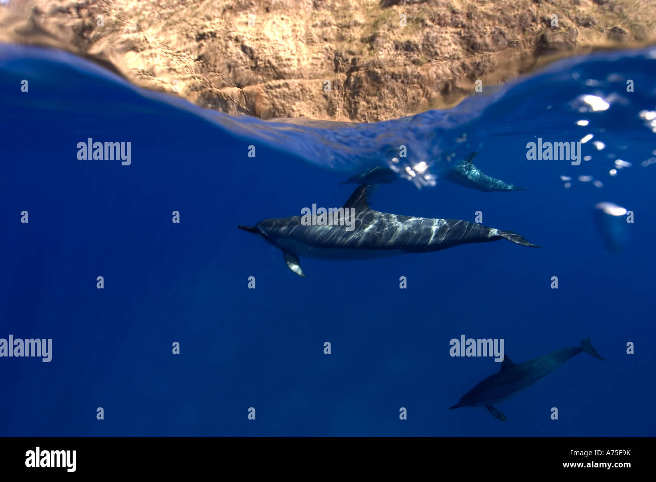Split image of Spinner dolphins Stenella longirostris and cliff Big Island Hawaii USA - Stock Image