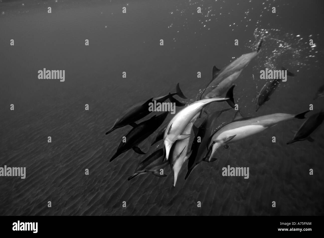 Pod of spinner dolphins Stenella longirostris playing Big Island Hawaii USA - Stock Image