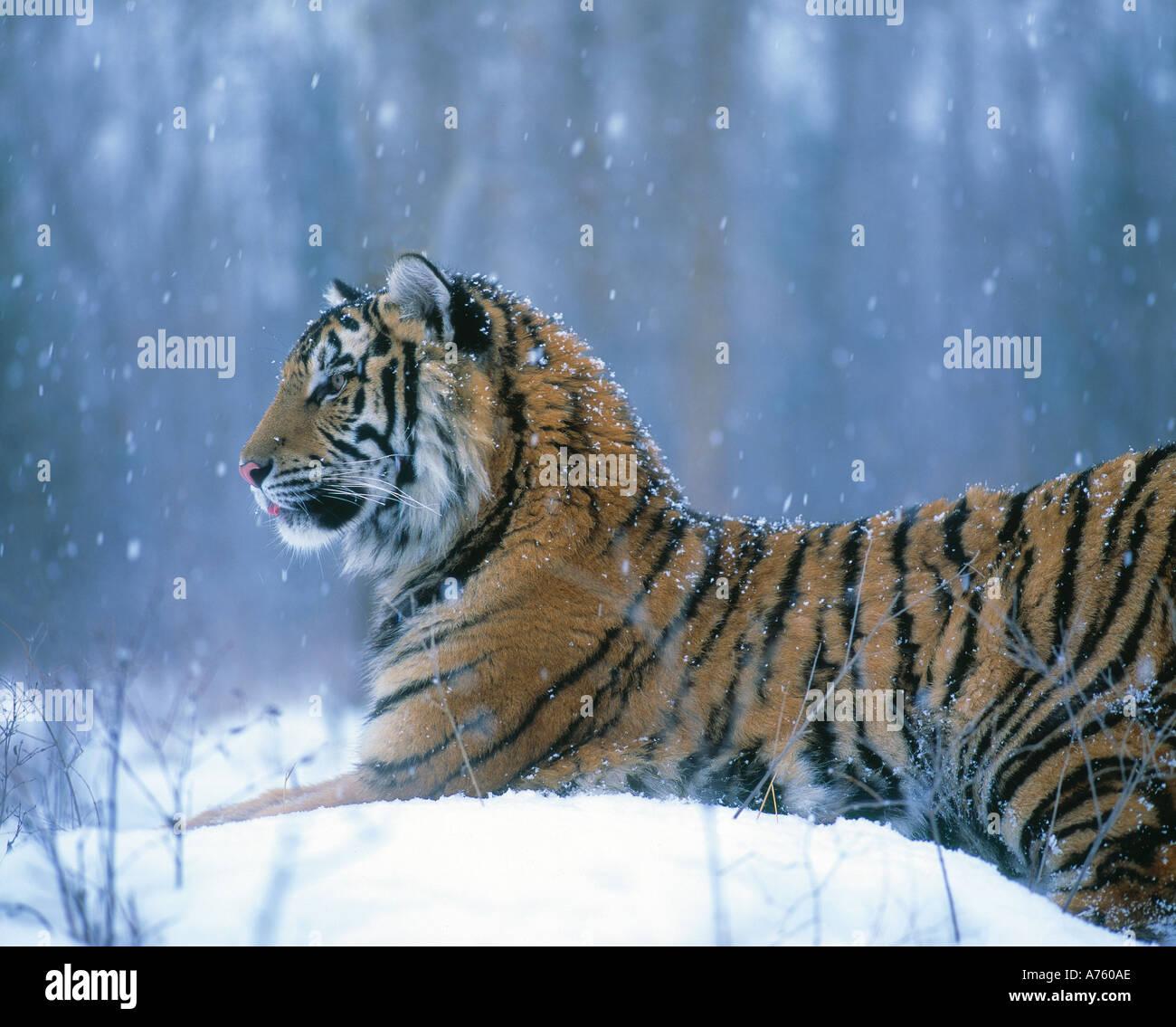 Siberian tiger in winter - Stock Image