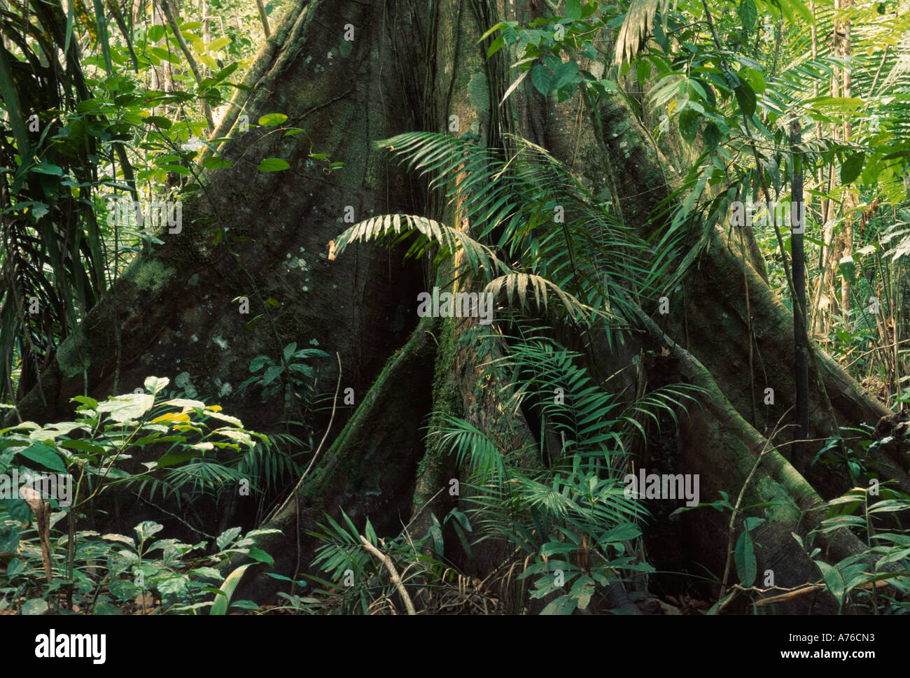 Amazon rainforest understory, rainforest tree with buttress roots - Stock Image