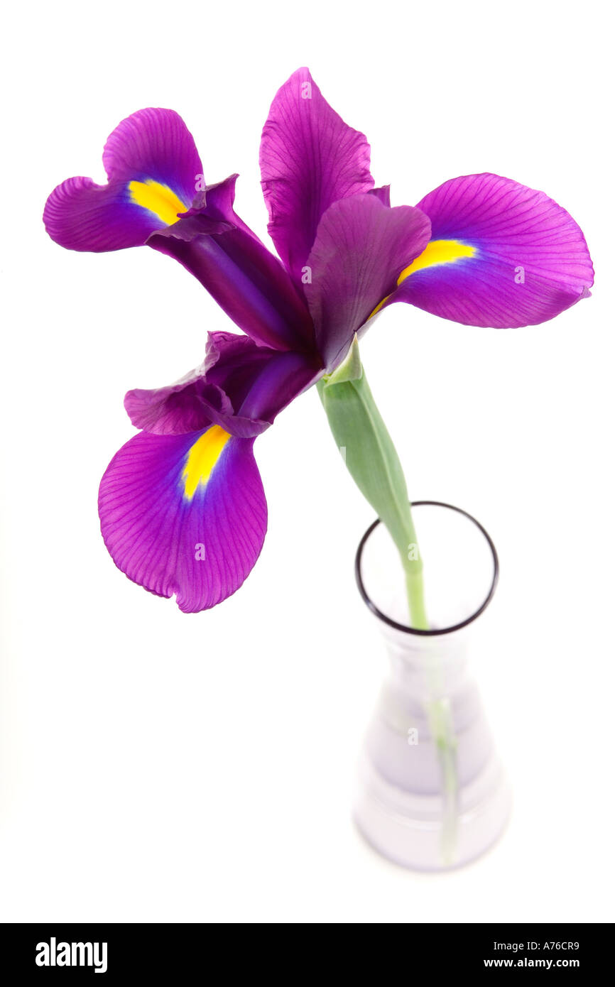 A purple mauve magenta iris in a glass specimen vase on pure white background. - Stock Image