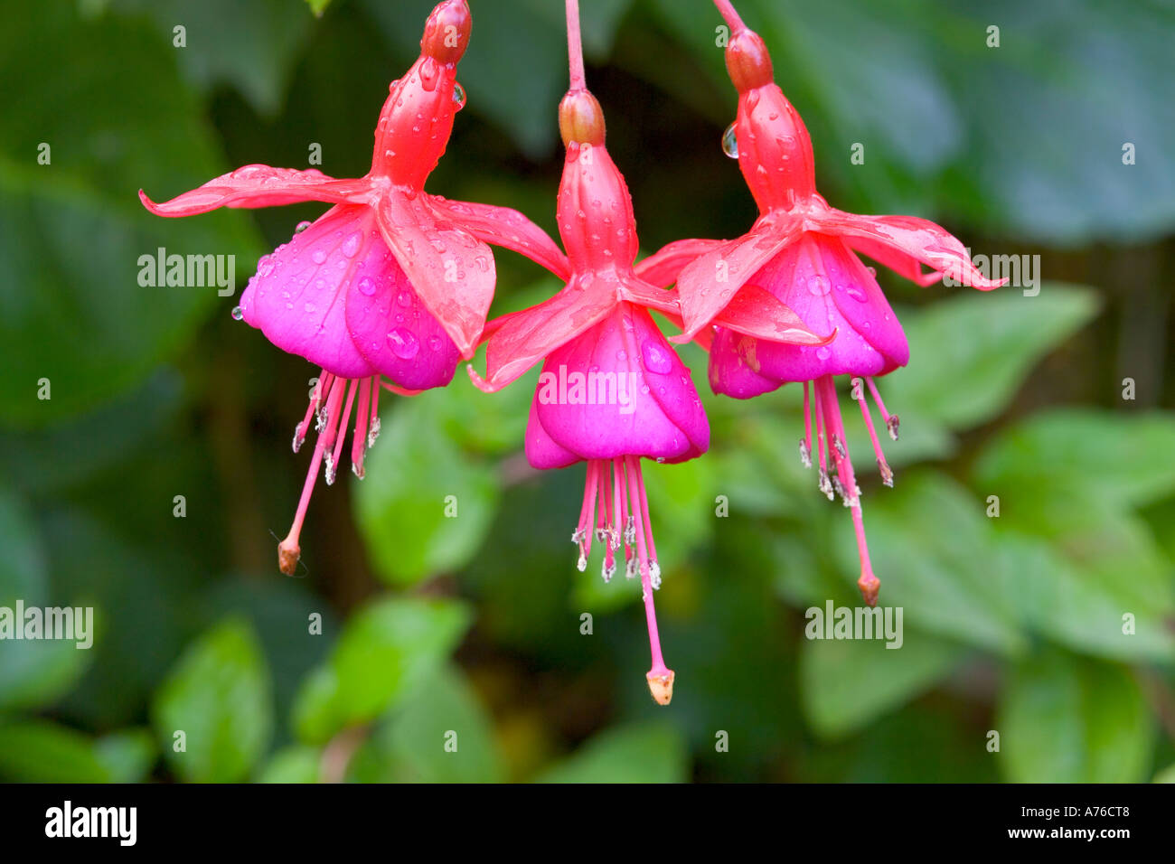 Close up of three Pink fuchsia blooms hanging in a row. - Stock Image