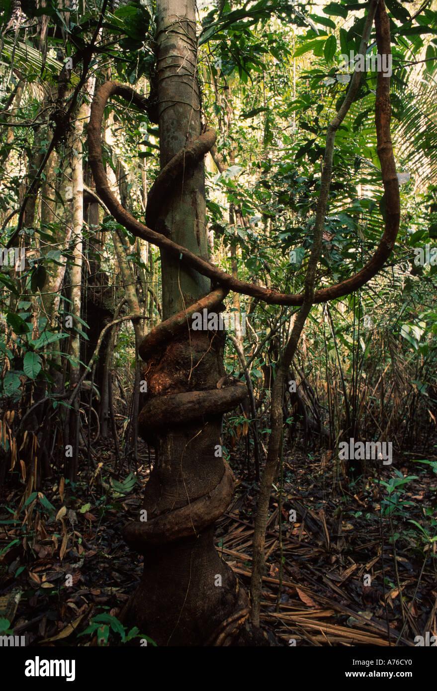Rainforest understory tree surrounded by lliana, Amazon Basin - Stock Image