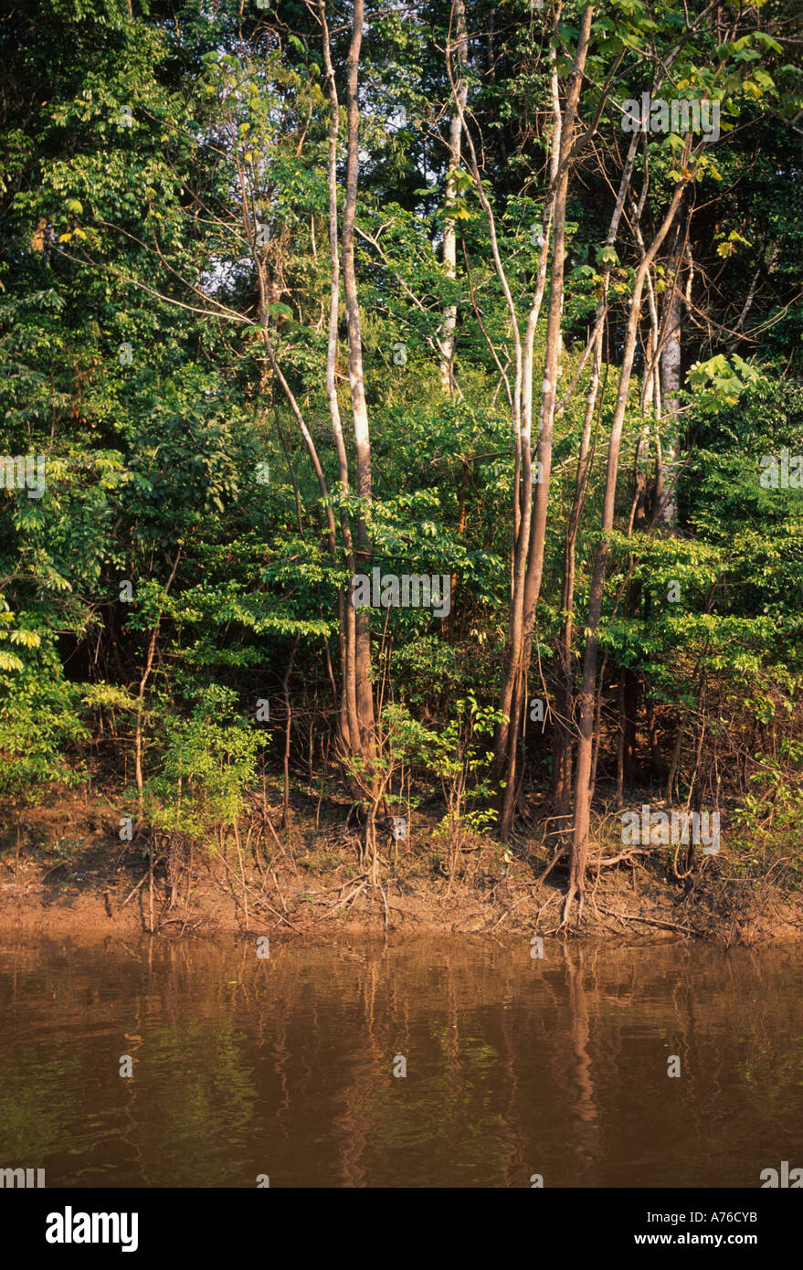 High water mark visible (white/brown tranistion) on riverside trees during dry season, Yarapa River, Amazon basin - Stock Image