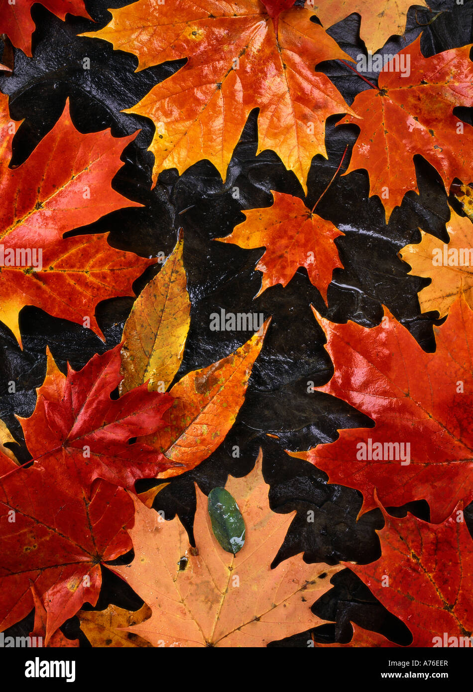 Maple Leaves, in autumn, Fallen, New York State - Stock Image