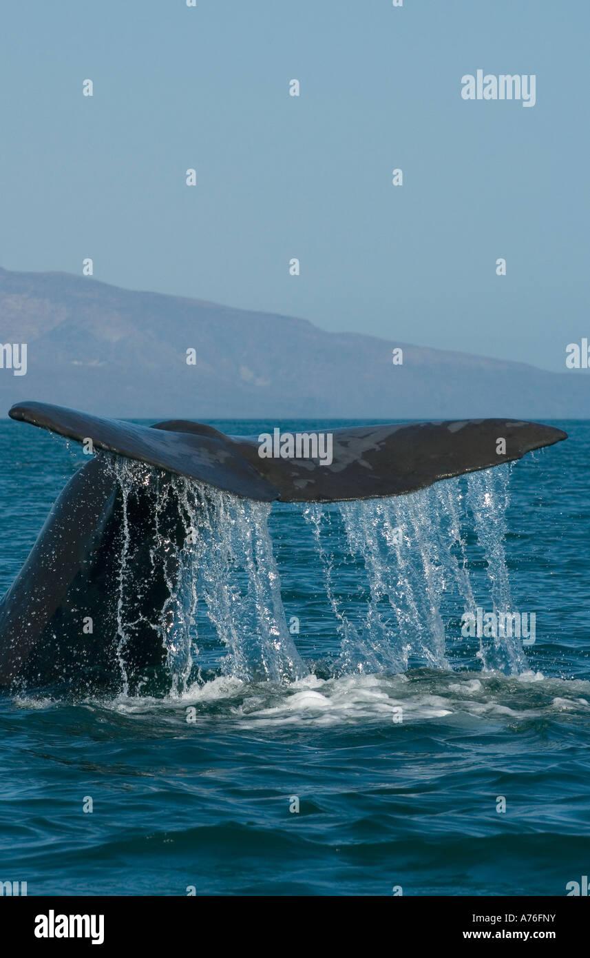 Sperm Whale (Physeter macrocephalus) Diving, Baja California, Sea of Cortes MEXICO - Stock Image