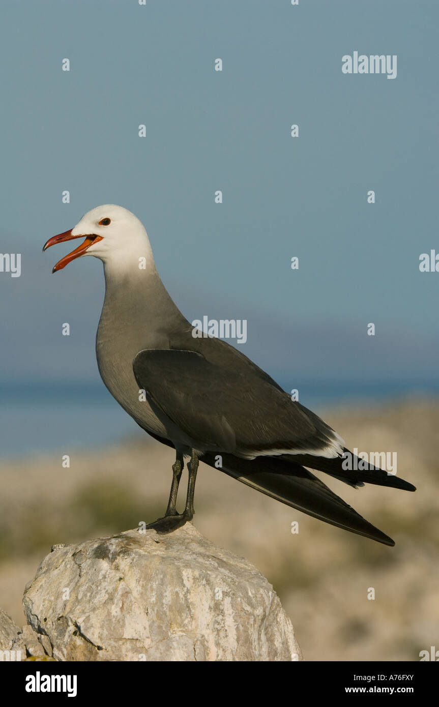 Heerman's Gull (Larus heermanni) Isla Rasa breeding colony,  SEA OF CORTES, Baja California, MEXICO Calling - Stock Image