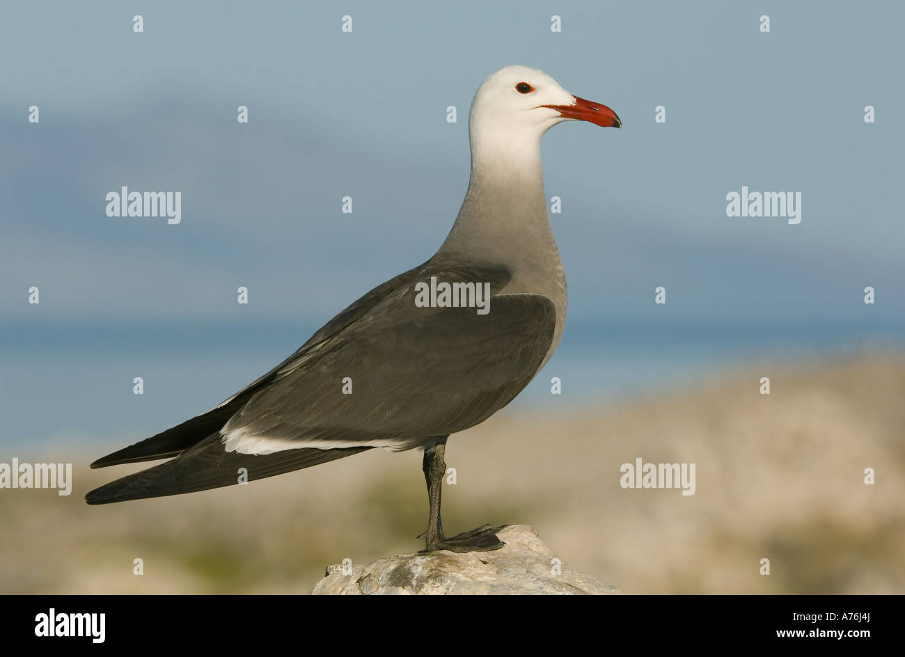 Heerman's Gull (Larus heermanni) Isla Rasa breeding colony,  SEA OF CORTES, Baja California, MEXICO - Stock Image