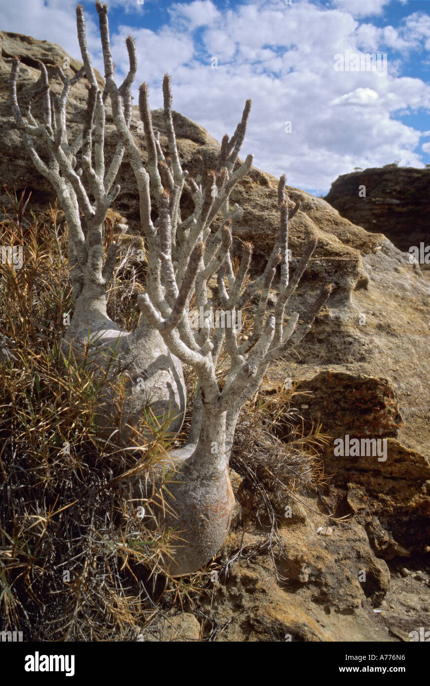 Miniature Baobab tree standing 50 centimetres high but over 100 years old in Isalo National Park central Madagascar - Stock Image