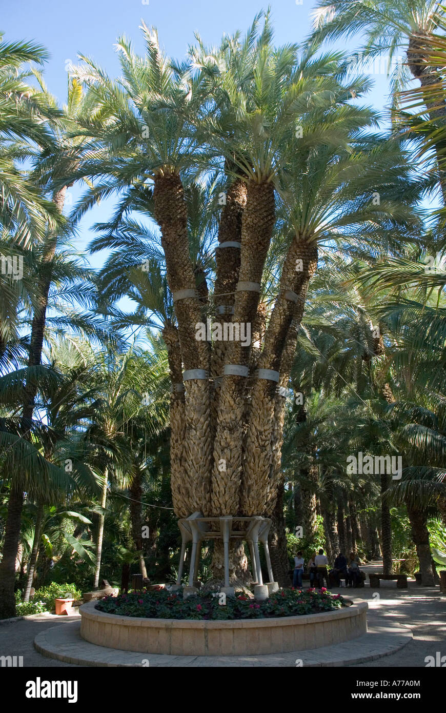 Imperial plam tree Priest Orchard in The Elx Palm Grove ELCHE Spain - Stock Image