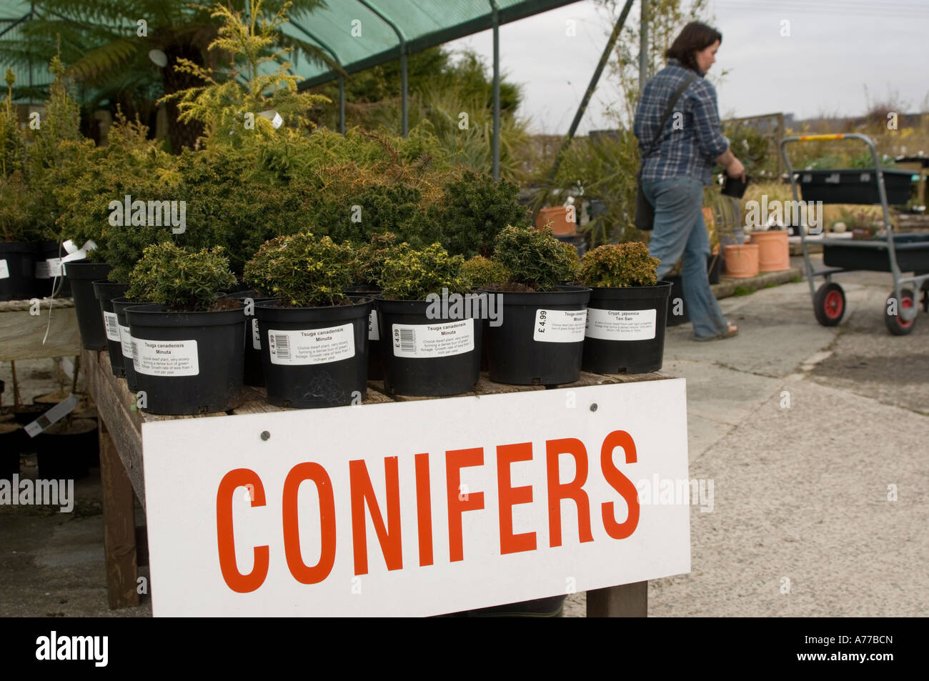 Woman shopping for plants at Newman's Garden centre Aberystwyth Ceredigion wales cymru UK - Stock Image