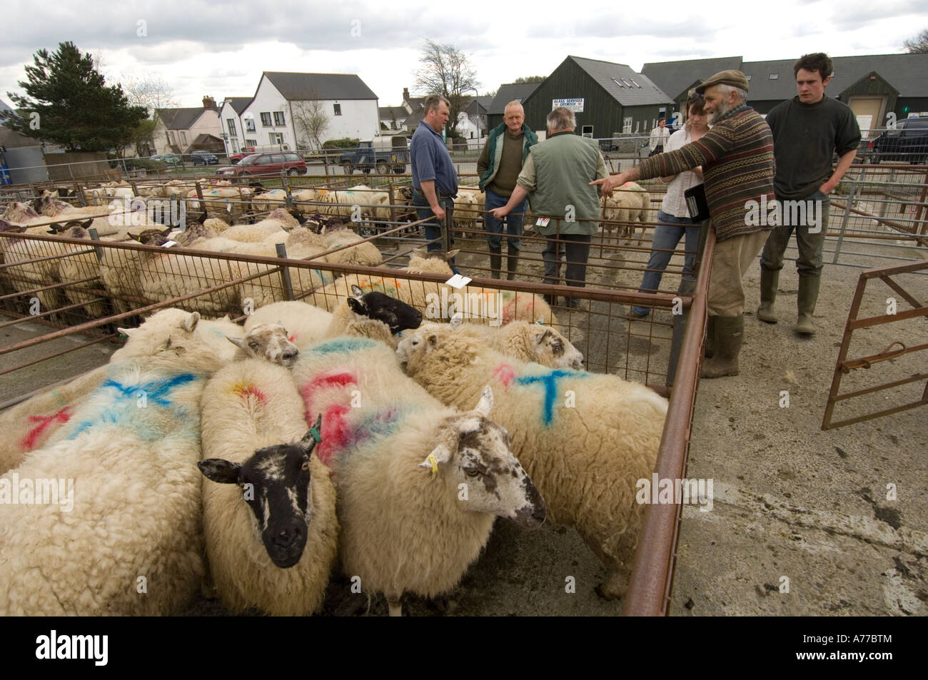 Farmers looking at livestock at Crymych sheep market Pembrokeshire wales  cymru - Stock Image 28b235cfc559