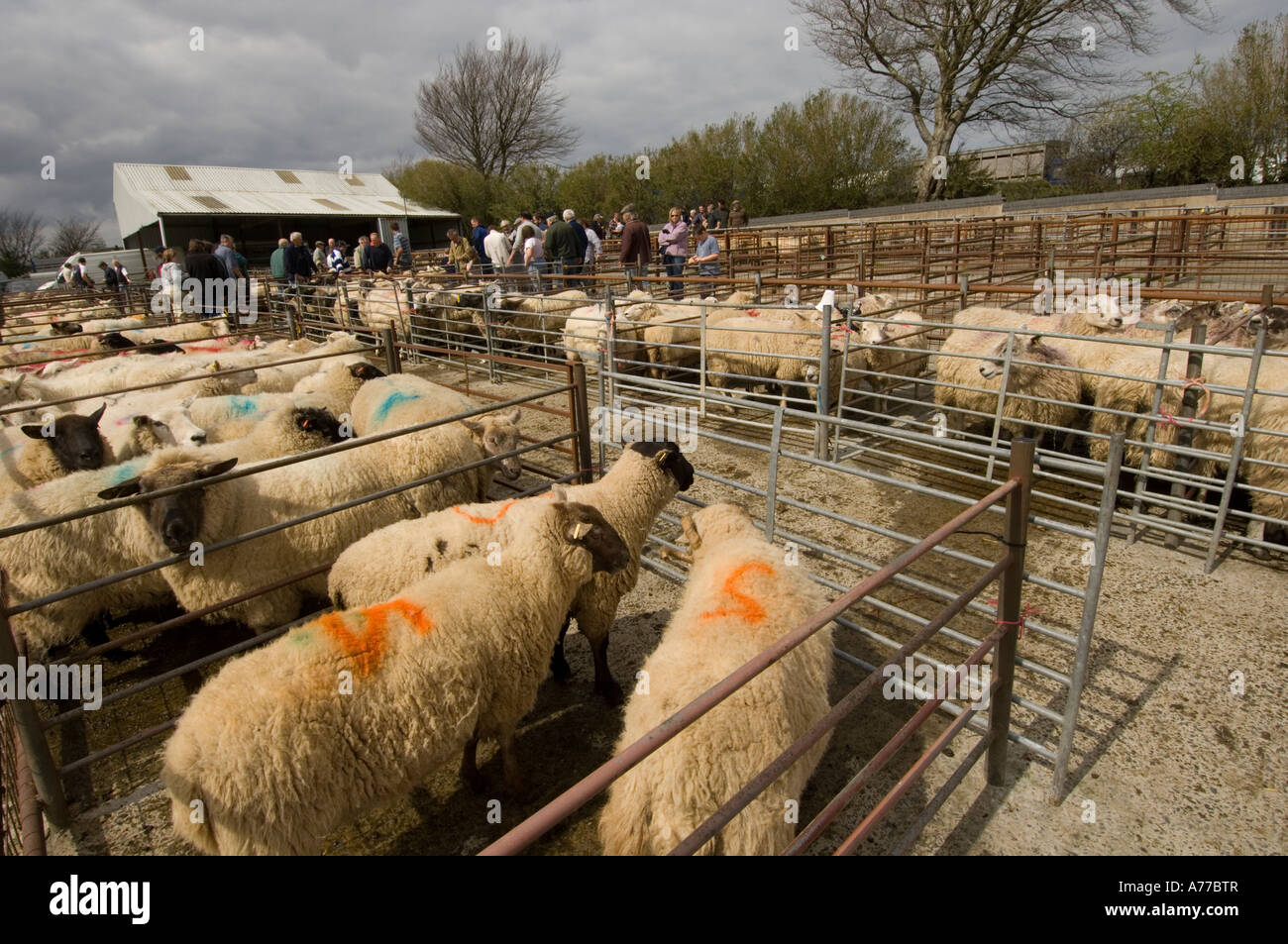 Sheep pens at at Crymych sheep market Pembrokeshire wales cymru UK - Stock  Image bdd10b427ca7