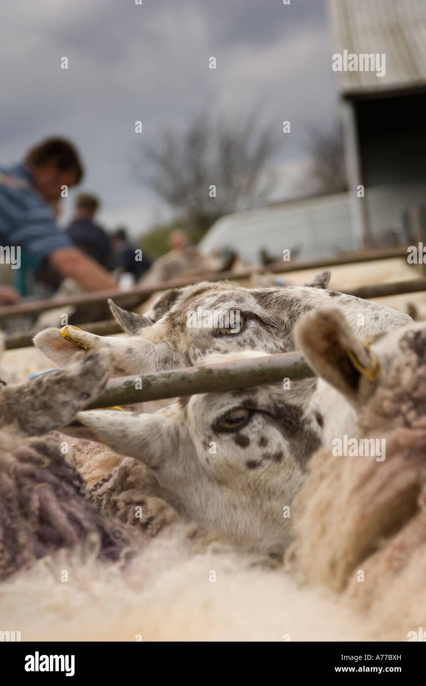 Crymych sheep market Pembrokeshire wales cymru Stock Photo  11748328 ... 20ce5e642d1d