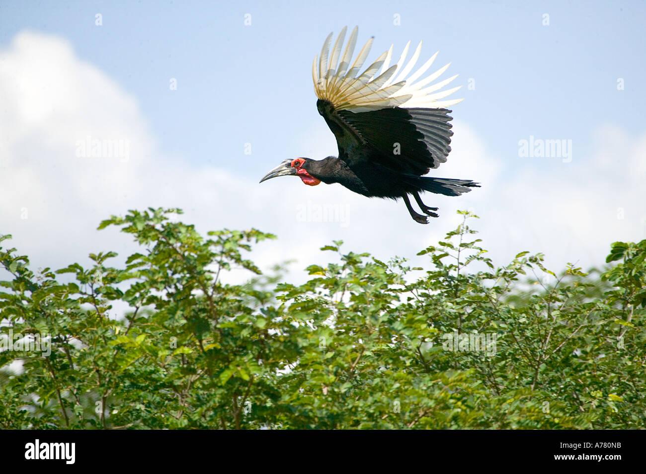 Ground hornbill in flight Bucorvus  leadbeteri - Stock Image