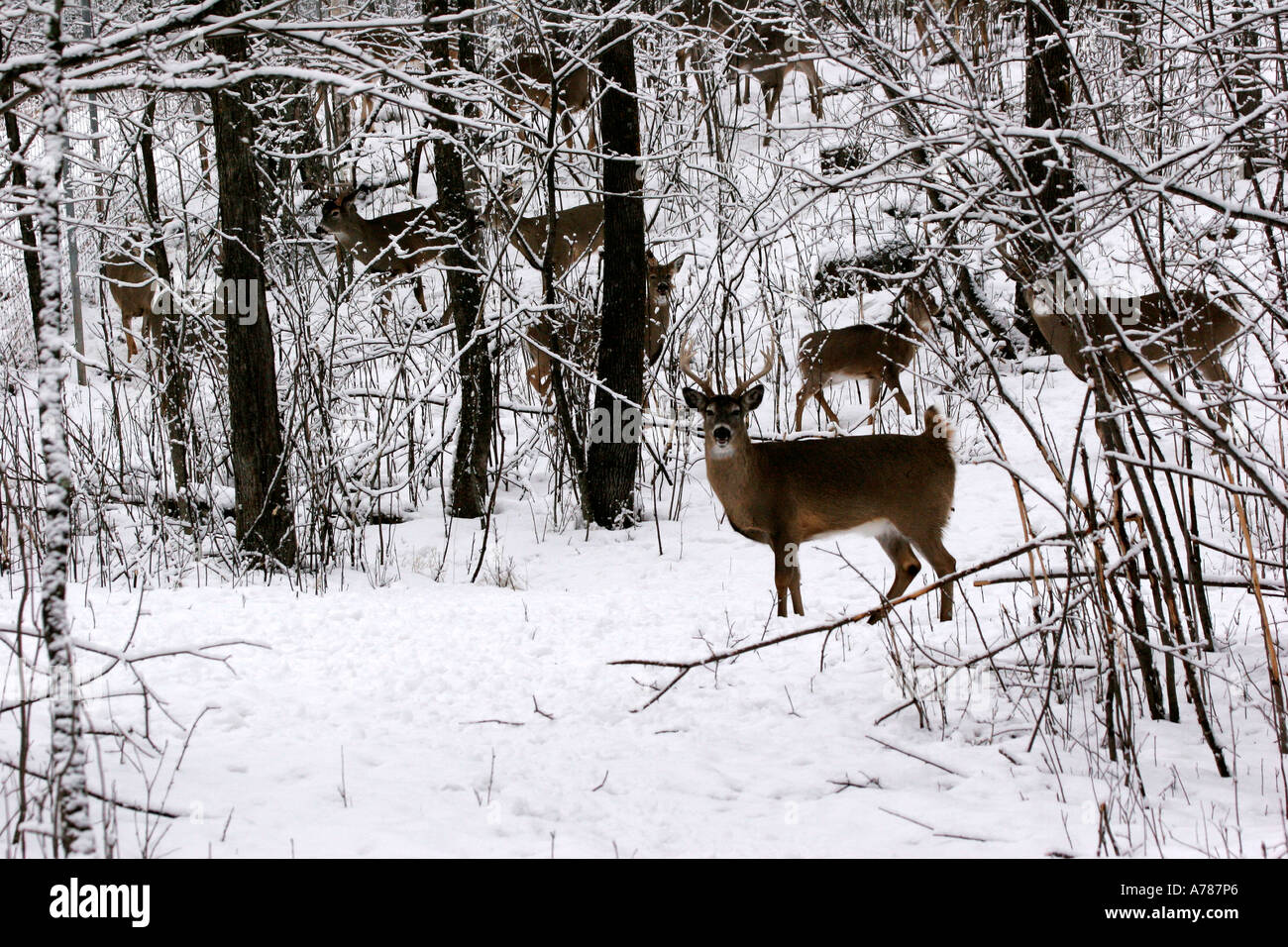 Herd of White Tail Deer found in Northern Wisconsin and Minnesota - Stock Image