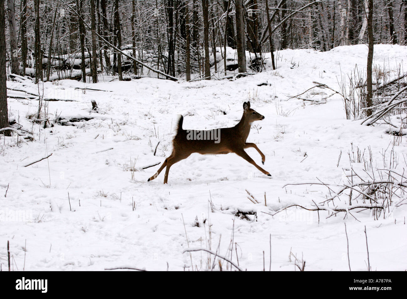 White Tail Deer Doe found in Northern Wisconsin and Minnesota - Stock Image