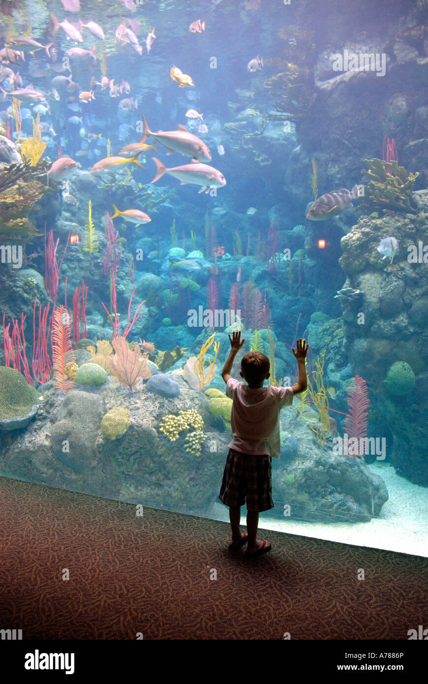 Child touches the glass in amazement at the Florida Aquarium in Tampa Florida FL - Stock Image