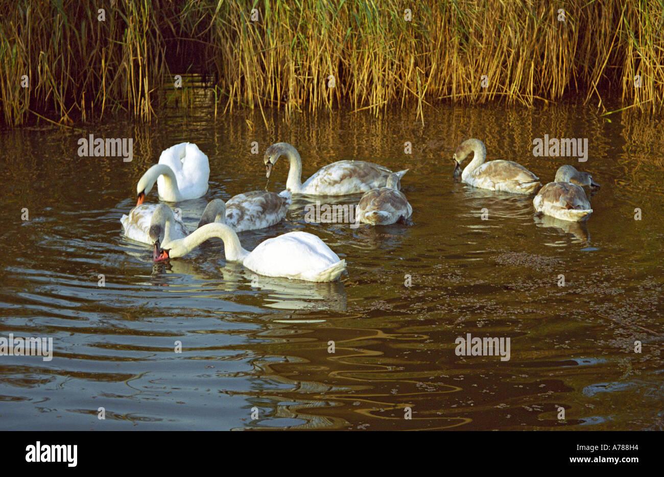 Swans on Sankey St Helens Canal, Sankey Valley Park, Warrington, Autumn 2005 Stock Photo