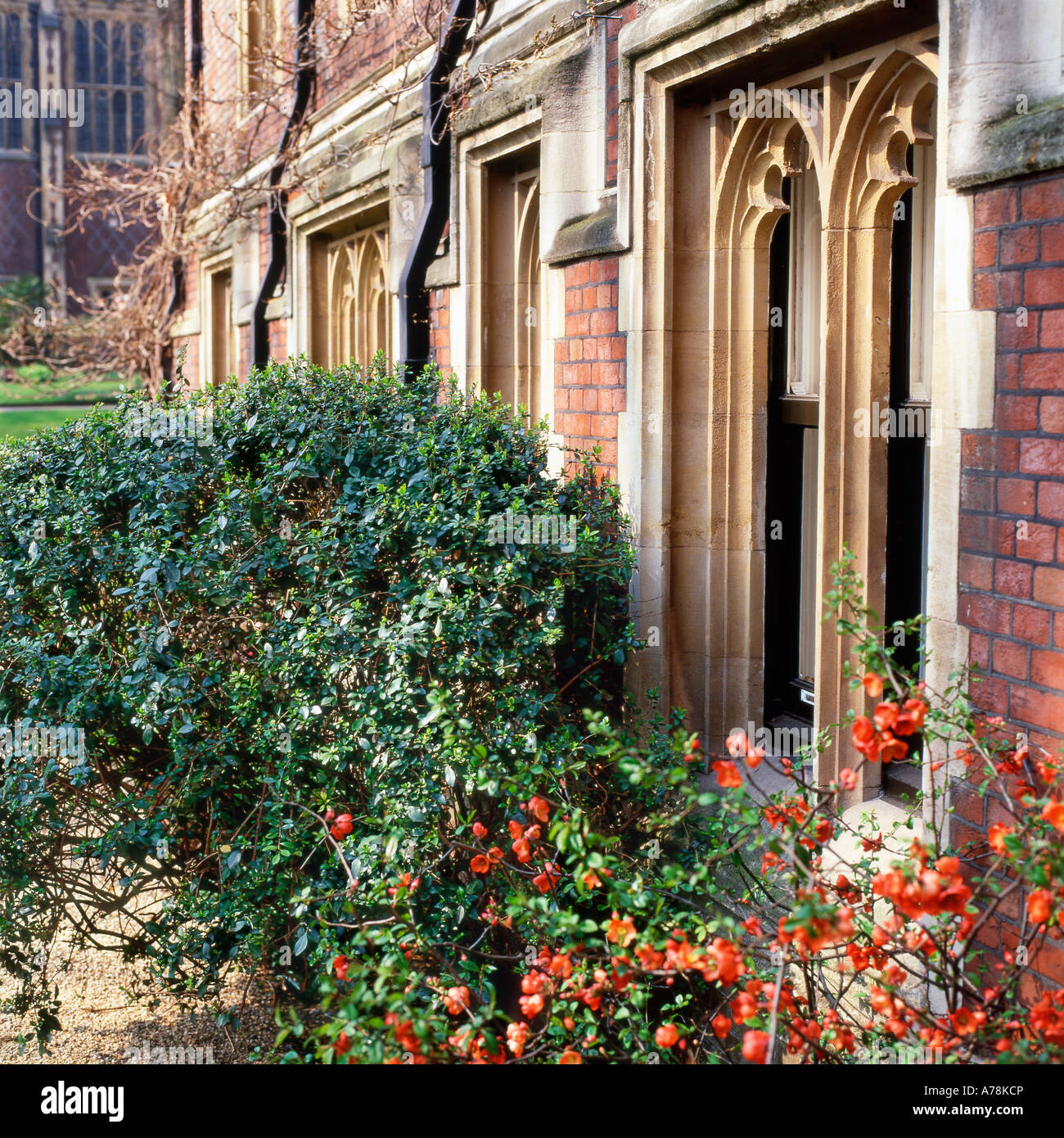 CHAENOMELES PLANT with orange flowers architectural detail of window at Old Square, Inns of Court, Lincoln's Inn Stock Photo
