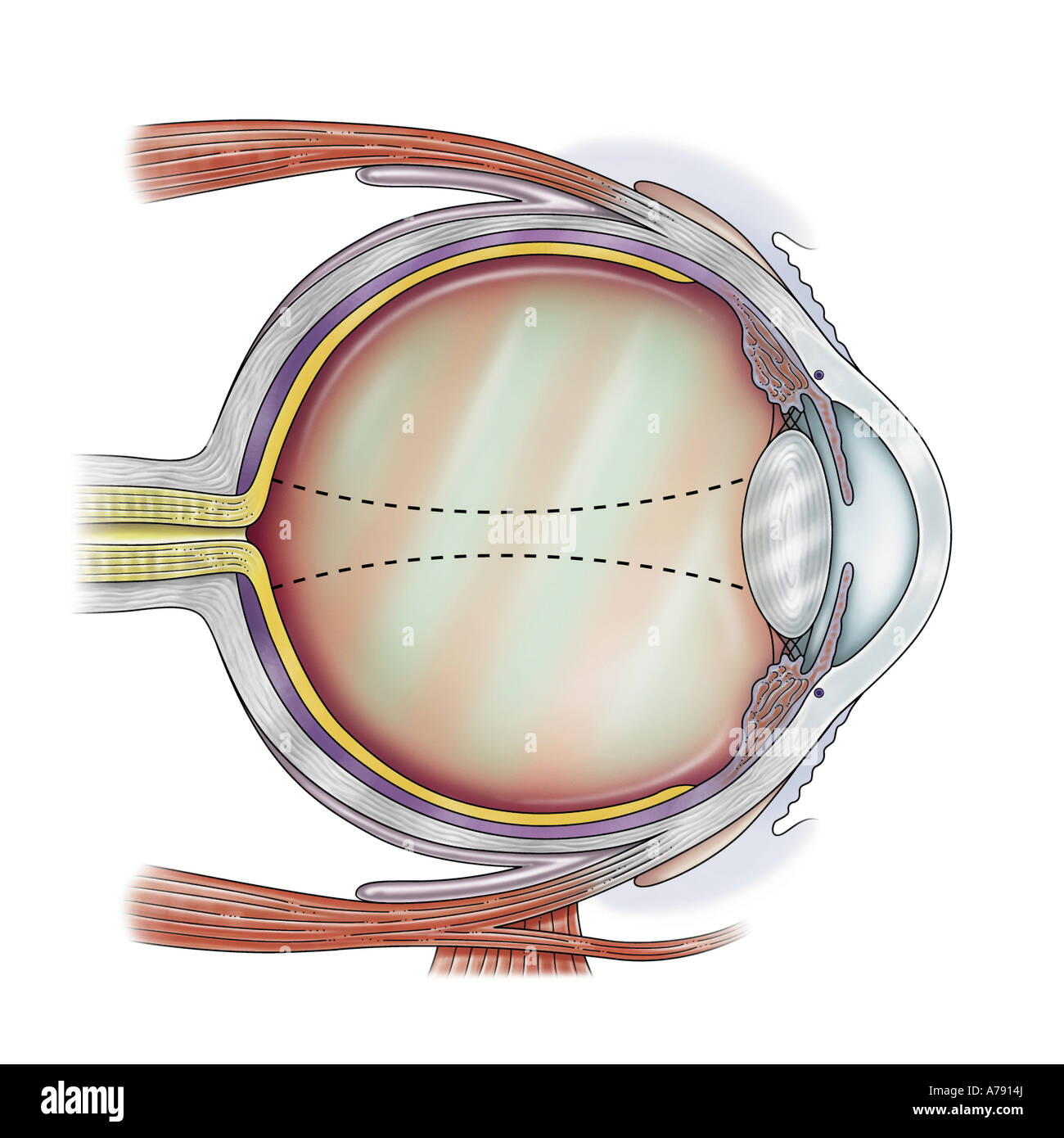 Showing The Anatomy Of The Eye Stock Photos Showing The Anatomy Of