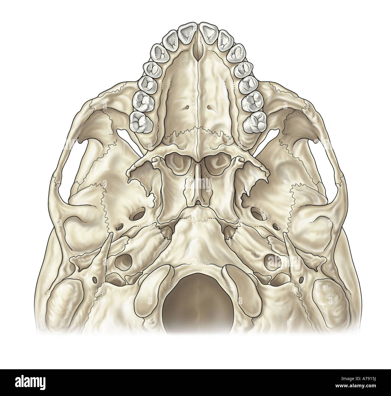 An illustration of the base of the skull - Stock Image