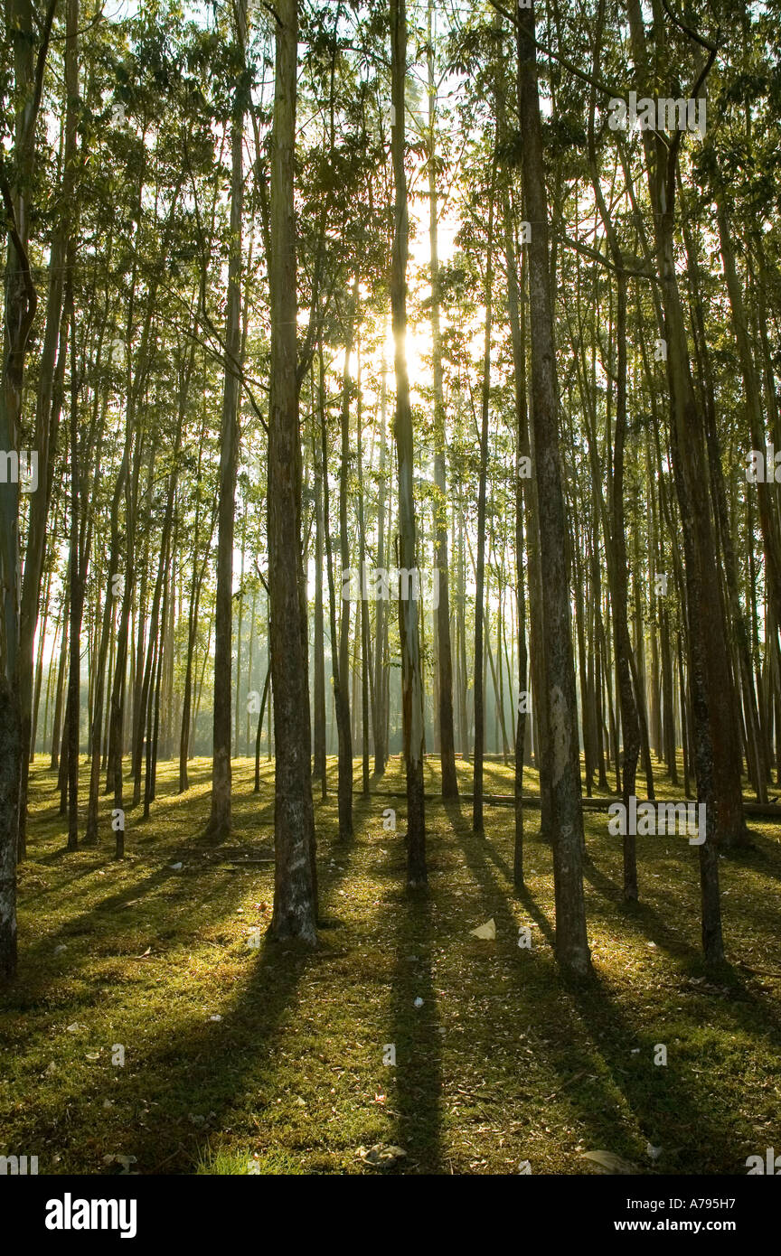 Rows of tall trees with sunlight and shadows - Stock Image