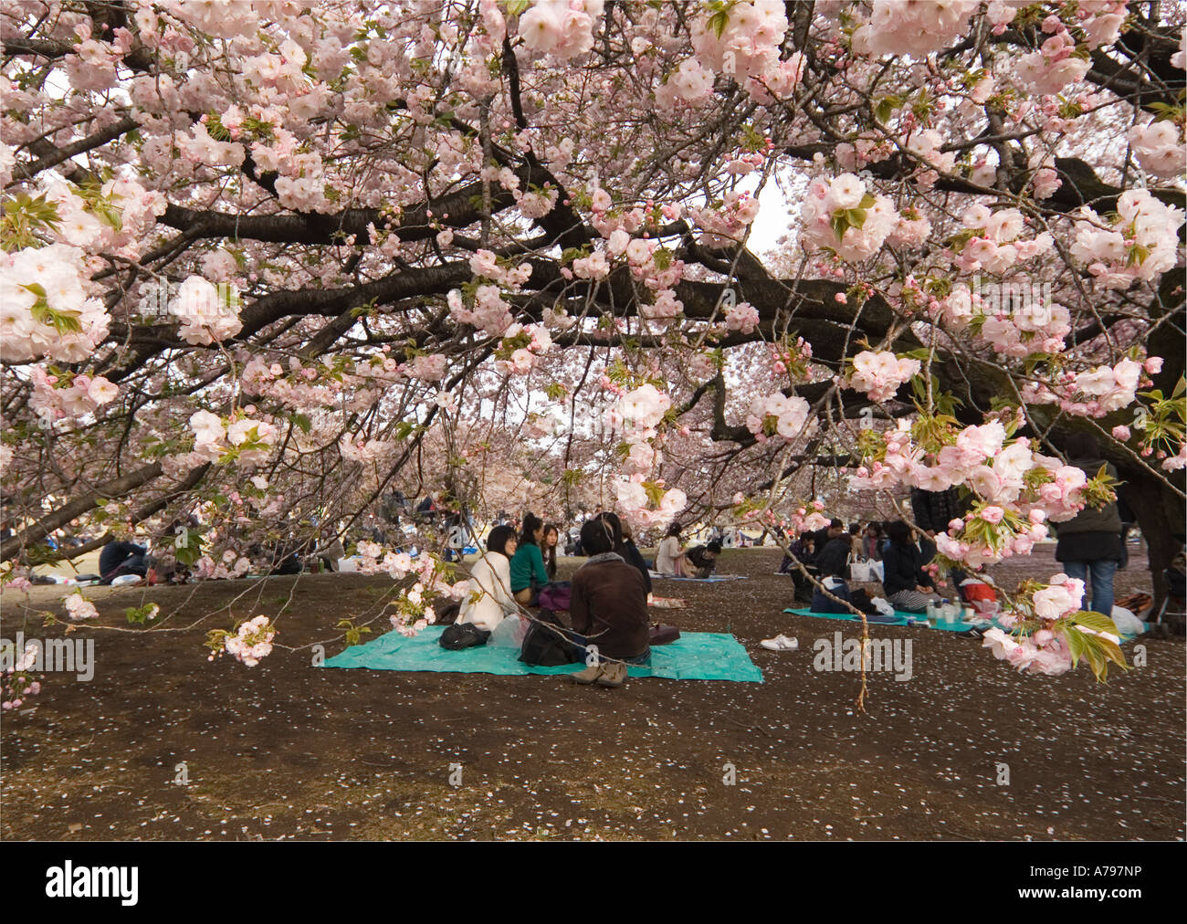 People Having A Picnic Under Cherry Blossom Trees In Tokyo Japan