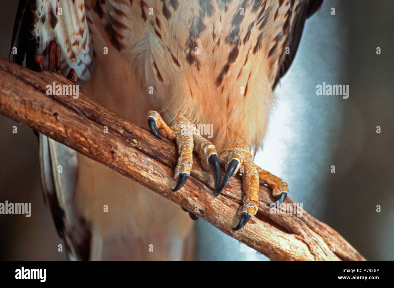 Red-tailed Hawk adult Buteo jamaicensis close up of feet showing powerful talons - Stock Image