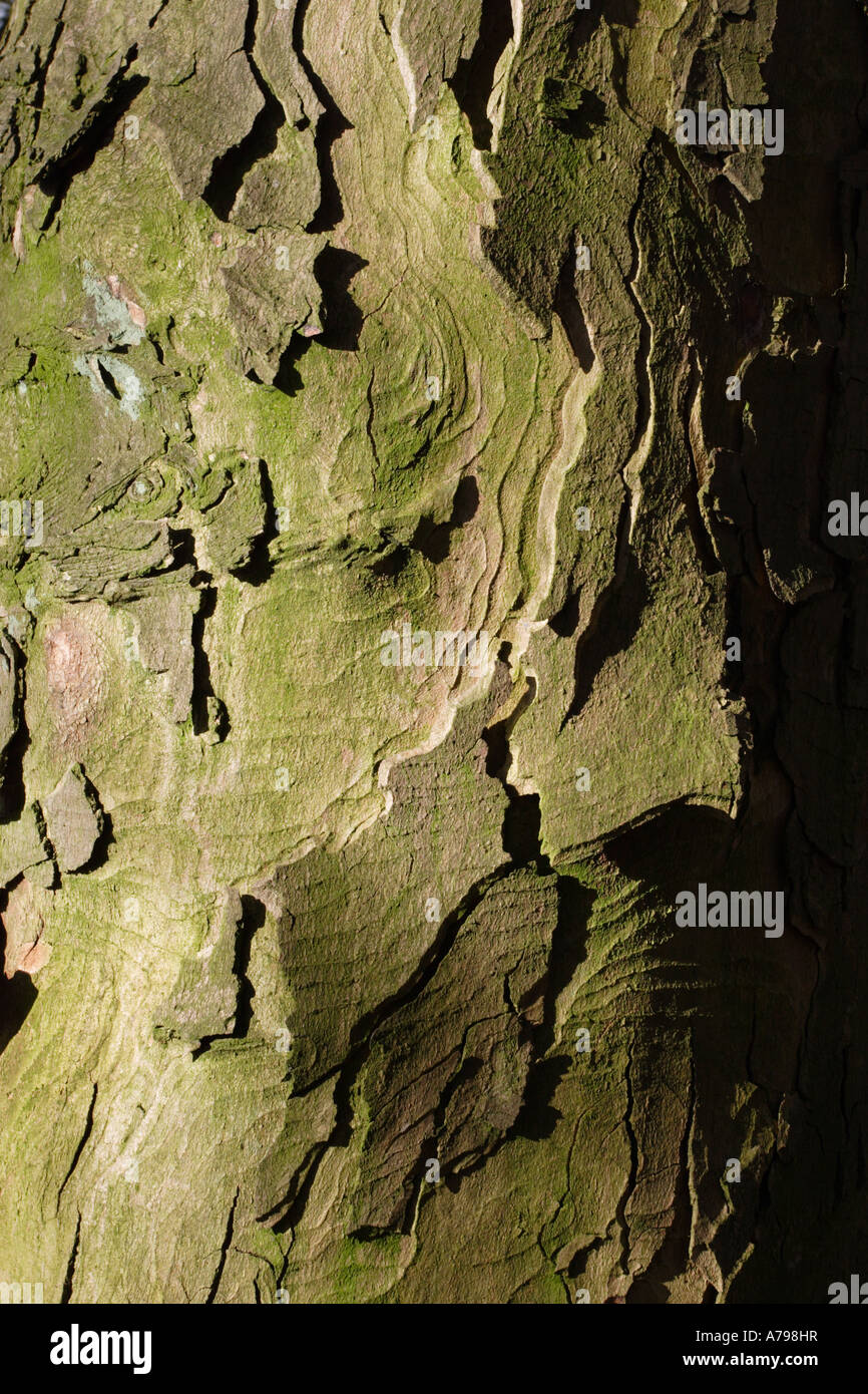 Sidelit Bark of a Sycamore tree - Stock Image