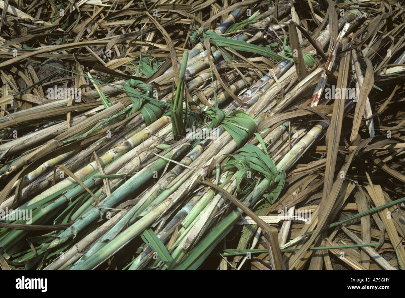 Sugar cane cut in bundles and tied with sugar cane leaves Thailand - Stock Image