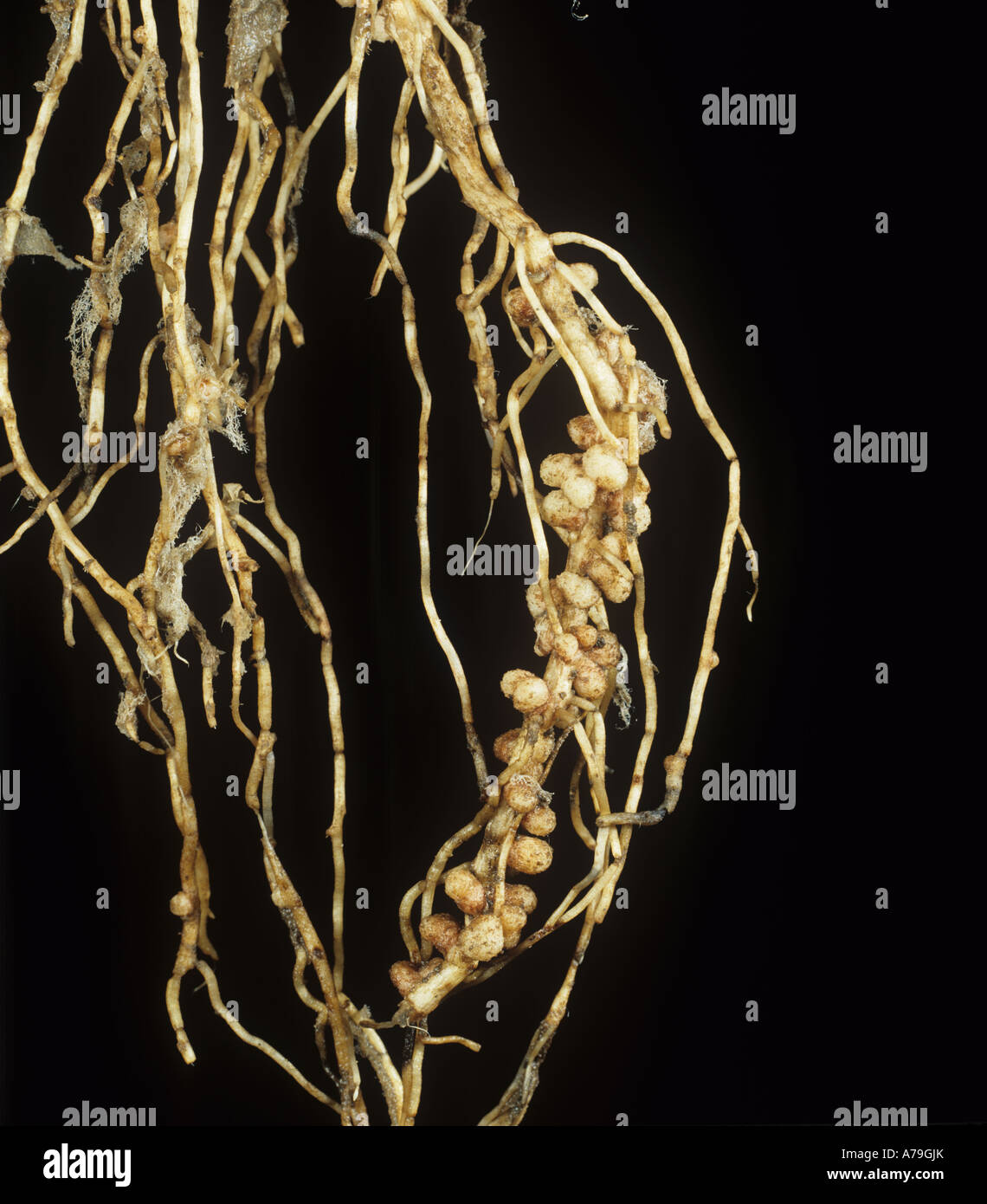 Rhizobium root nodules on Vicia faba field bean for gaseous nitrogen fixation - Stock Image