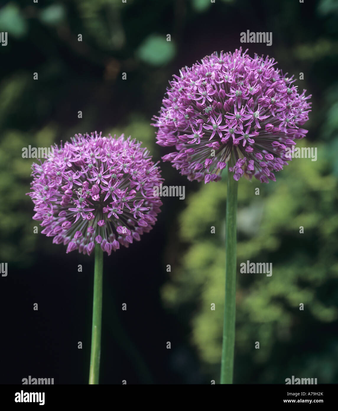 Allium Lucy Ball flower heads - Stock Image