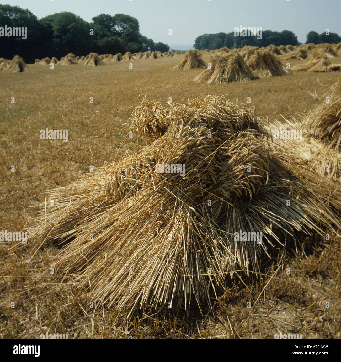 Stooks of thatching straw from long strawed wheat crop Hampshire - Stock Image