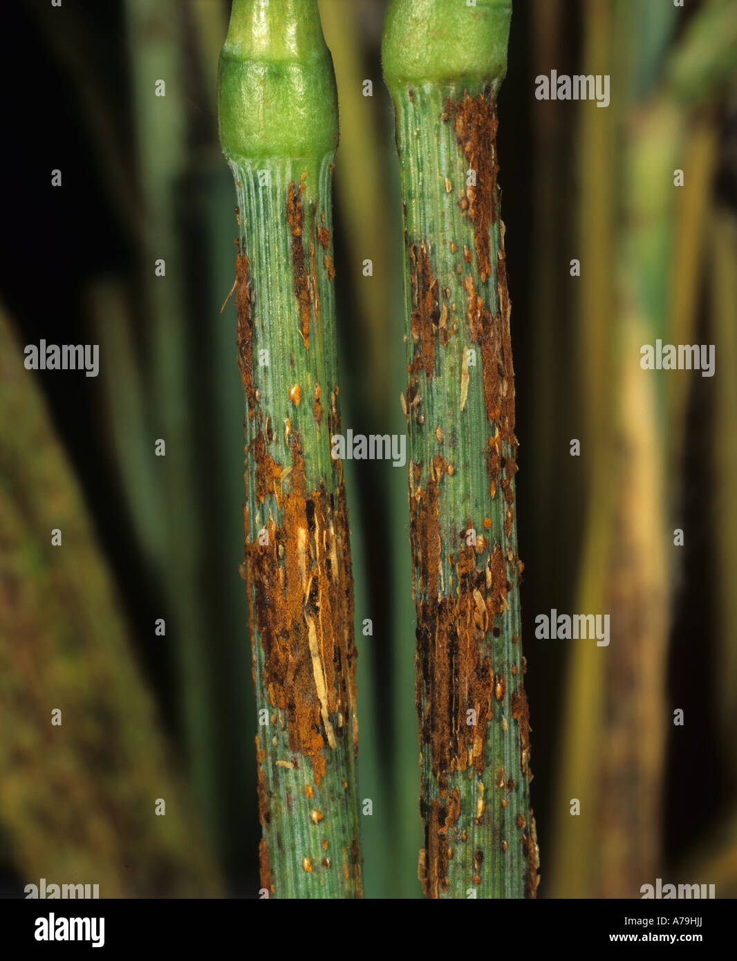 Black stem rust Puccinia graminis on bearded awned wheat ...
