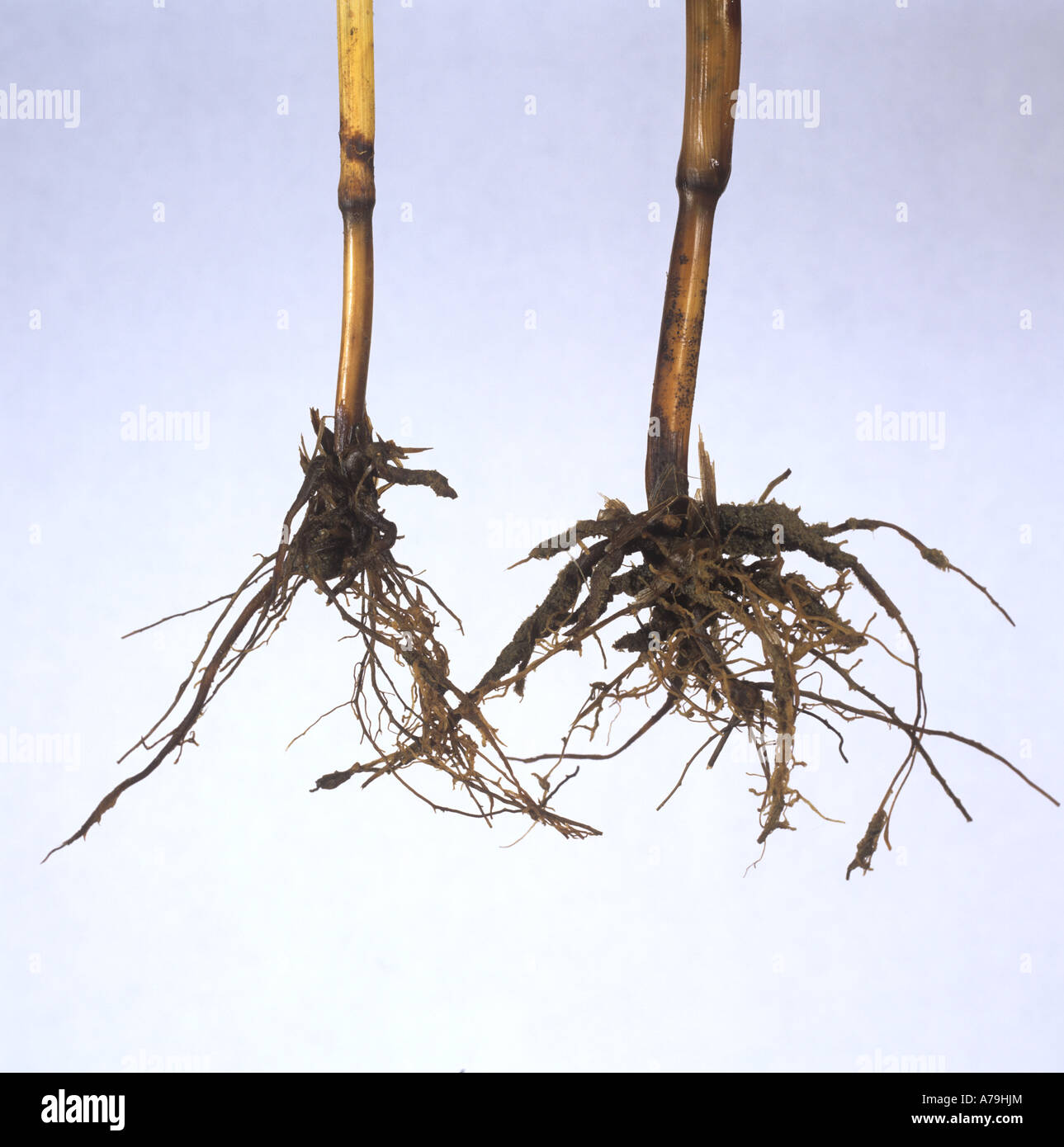 Take all Gaeumannomyces graminis diseased wheat roots - Stock Image
