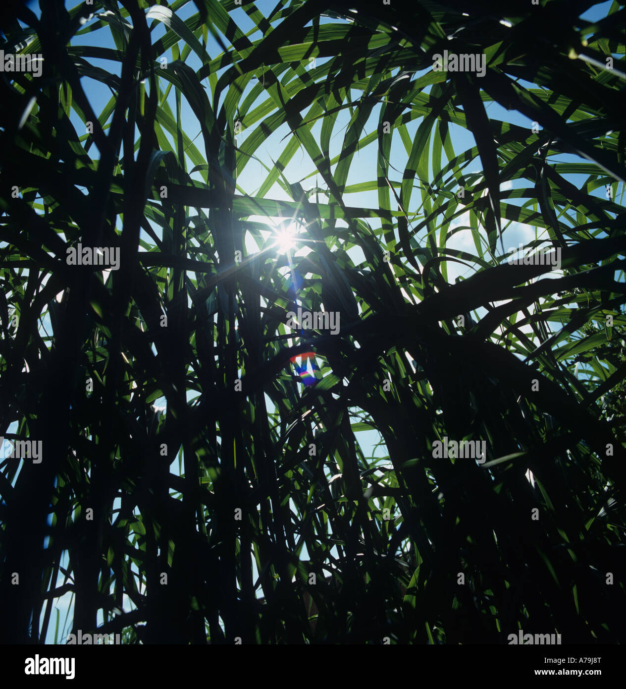 Maturing crop of elephant grass Miscanthus sp fast growing crop used for biomass - Stock Image