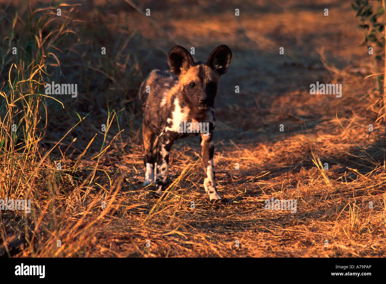 Wild dog Lycaon pictus pup approximately three months old Kruger National Park Mpumalanga South Africa - Stock Image