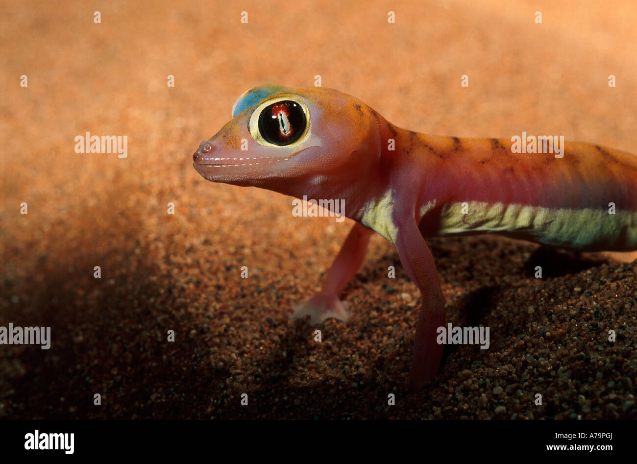 Palmato gecko portrait near Sesriem Namib Desert Namibia Stock Photo