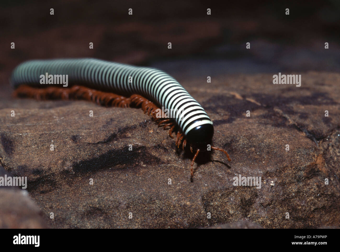 A Black And White Striped Millipede Or Songololo With Red Legs Stock Photo Alamy