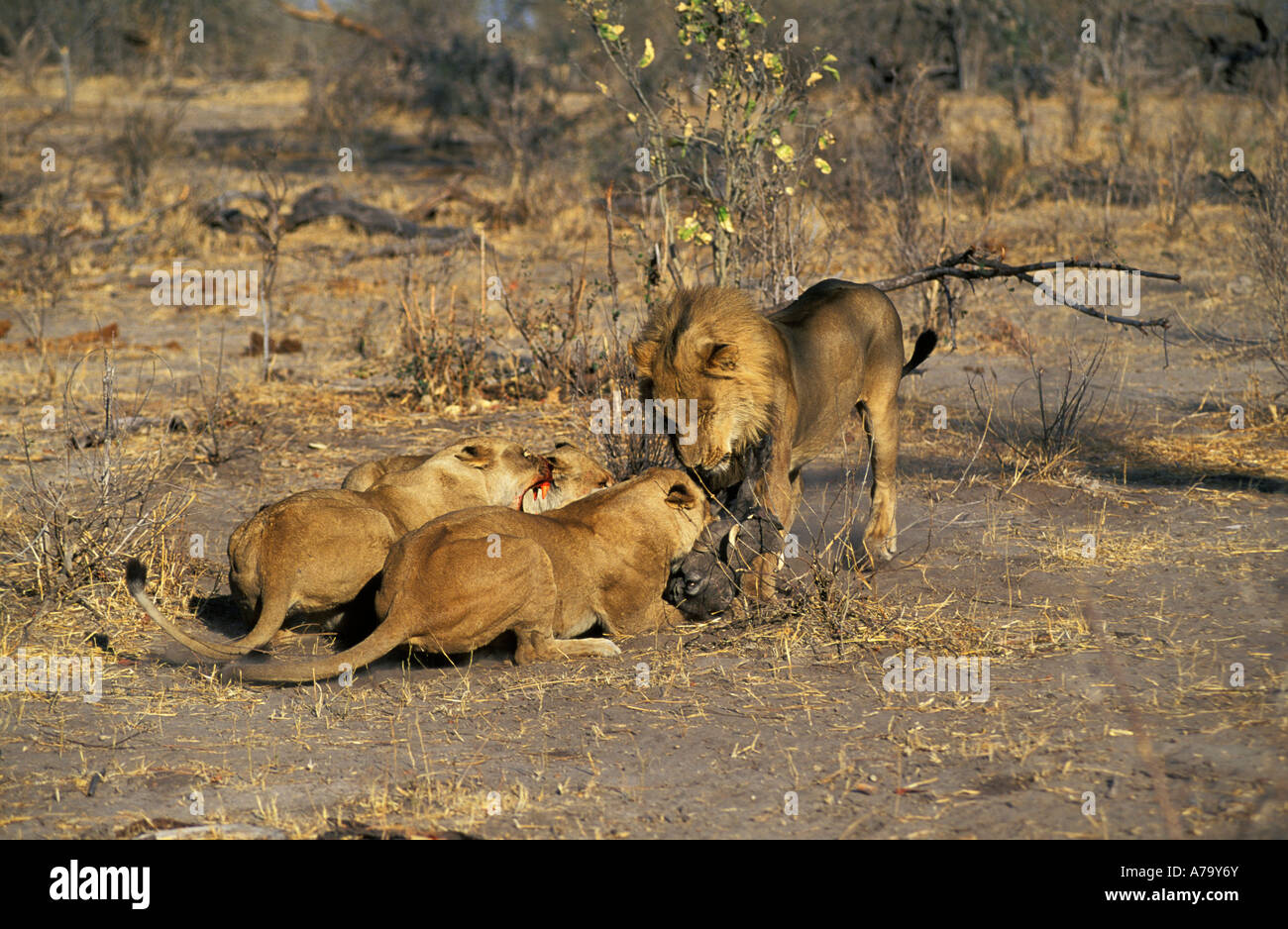 A lioness with bloodied teeth snarls at a male lion wanting to steal the warthog they have caught Duma Tau Botswana - Stock Image