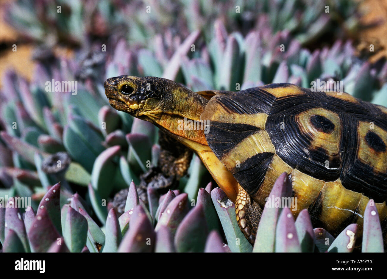 Portrait of angulated tortoise crawling through t noutsiama Cheiridopsis species near Springbok Namaqualand - Stock Image