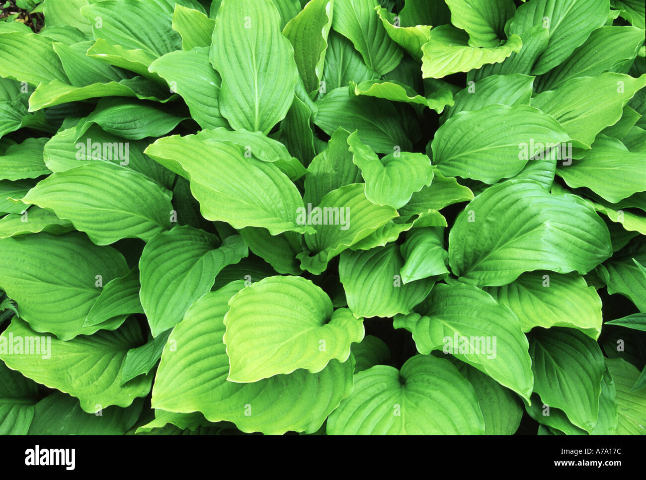 Hosta Honeybells Stock Photo 500092 Alamy