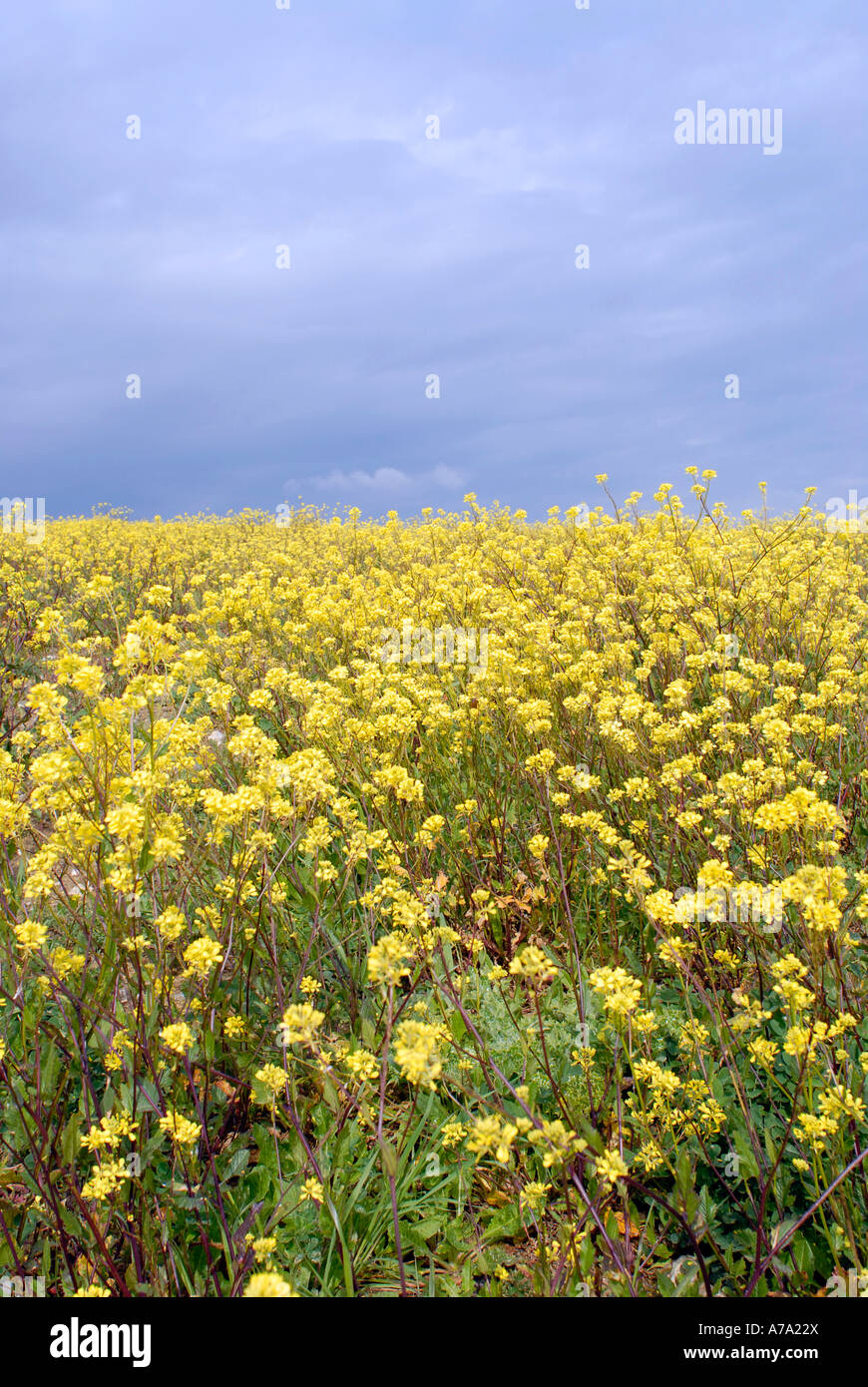 A Field Of Yellow Canola Flowers Brassica Napus Stock Photo