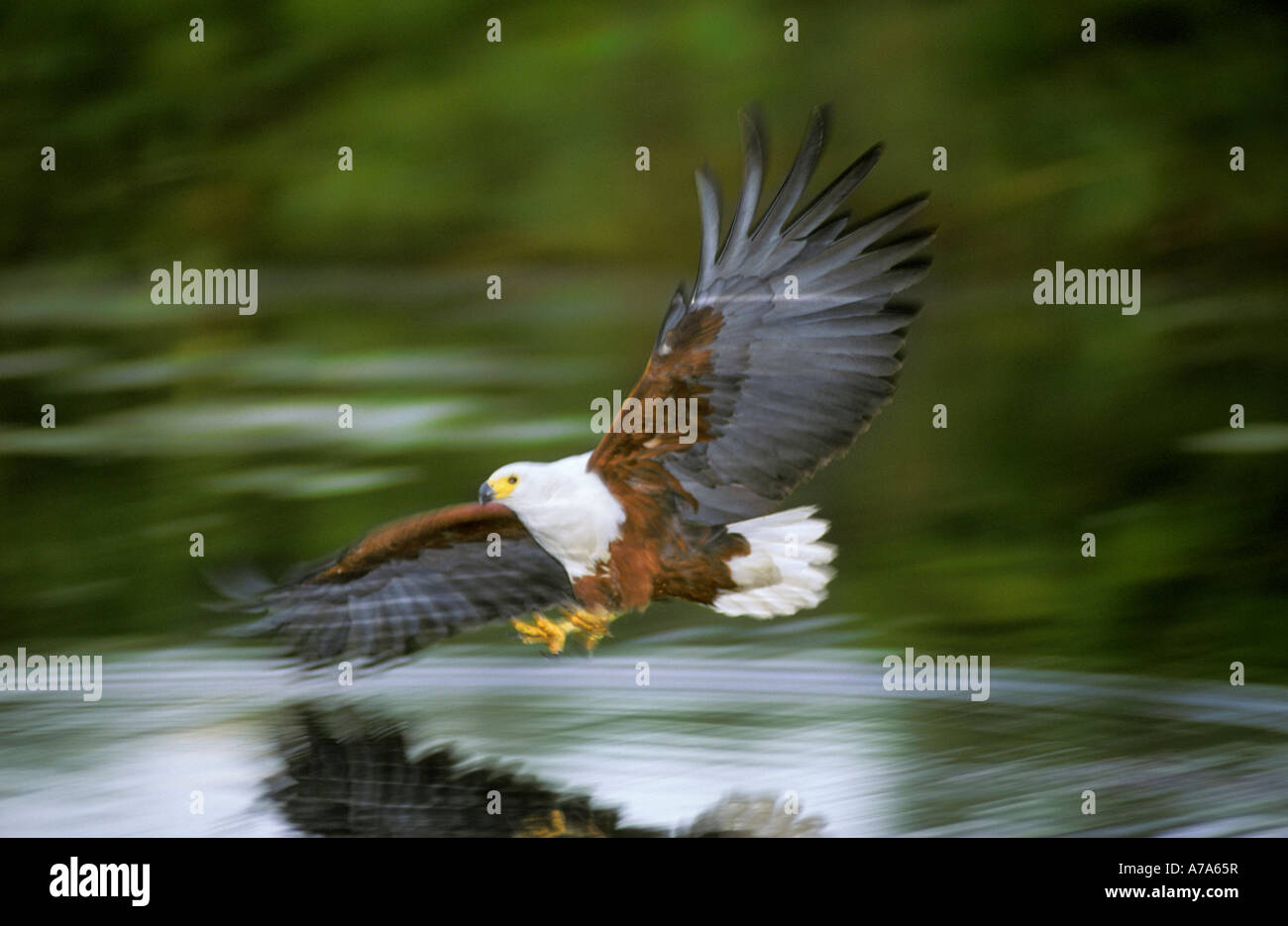 African fish eagle in flight stooping with talons extended Jedibe Okavango Delta Botswana - Stock Image