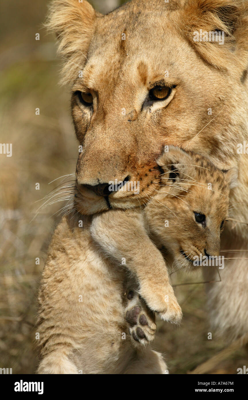 Tight view of lioness carrying a cub in its mouth Kruger National Park Mpumalanga South Africa - Stock Image