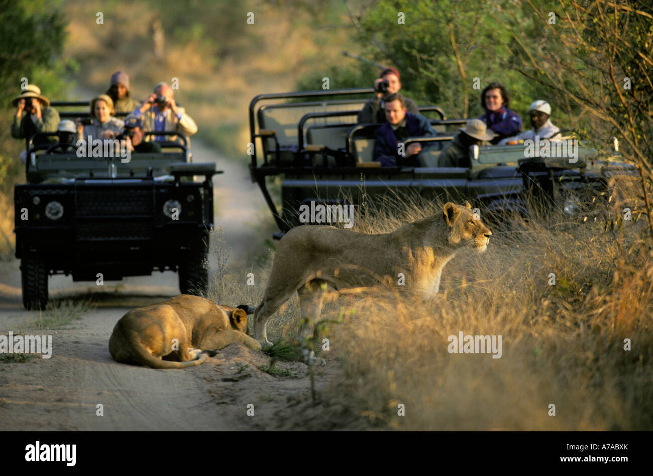 Tourists in two open game viewing vehicles viewing two lionesses