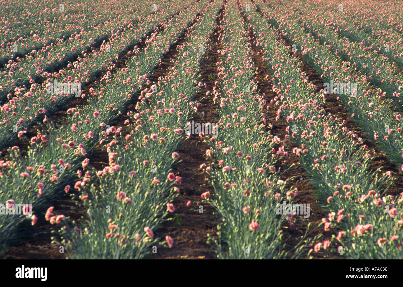 Field of pinks carnations mass production for flower market - Stock Image