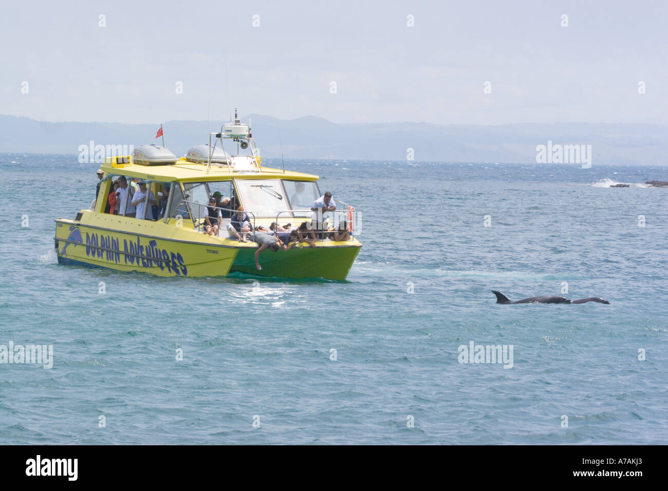 Paihia Bay of Islands New Zealand Bottle Nosed Dolphin watching excursion trip with yellow tourist boat - Stock Image